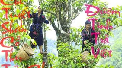 Chè Shan Tuyết (Tuyết Shan) Tủa Chùa – Món Quà của Tự Nhiên