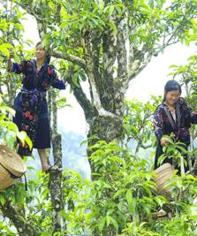 Chè Tuyết Shan Tủa Chùa – Món quà của tự nhiên