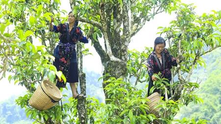 Chè Tuyết Shan (Shan Tuyết) Tủa Chùa – Món Quà của Tự Nhiên