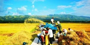 """Gạo Tám Điện Biên – Hạt gạo xứ """"Mường Trời"""""""