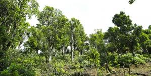 Điểm Khác Biệt của Chè Shan Tuyết Cổ Thụ và Chè Trung Du (Chè Thái Nguyên)
