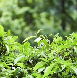 Tác Dụng Của Chè Shan Tuyết