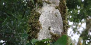 Phát hiện rừng chè shan tuyết cổ thụ triệu năm tuổi mọc hoang dã trên đỉnh núi Lai Châu