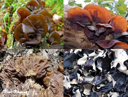 Mộc nhĩ rừng Mộc Châu - Đặc sản siêu sạch và thơm ngon từ núi rừng