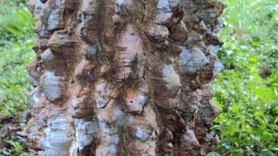 Cây dược liệu Mắc Khén(hay cây Sẻn hôi, Hoàng mộc hôi, Cóc hôi, Vàng me) tên Tiếng Anh Zanthoxylum rhetsa